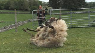 Lambing Season (2013)